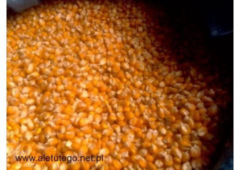 Sprzedam 300t. kukurydzy ekologicznej z certyfikatem
