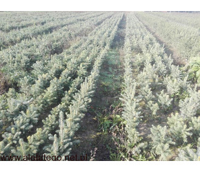 Piękne sadzonki ŚWIERK SREBRNY kaibab na choinki żywopłoty plantacja choinek małe średnie duże drzew