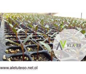 Praca na produkcji przy sadzonkach dla Kobiet – Holandia okolice Lottum