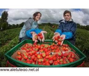 Praca przy zbiorze truskawek 200-300 zł dniówka 576123593