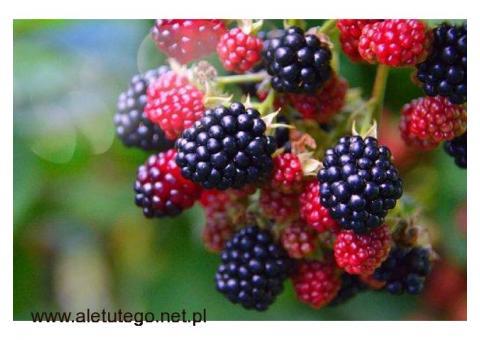 Praca w Holandii- zbiory owoców malin i jeżyn
