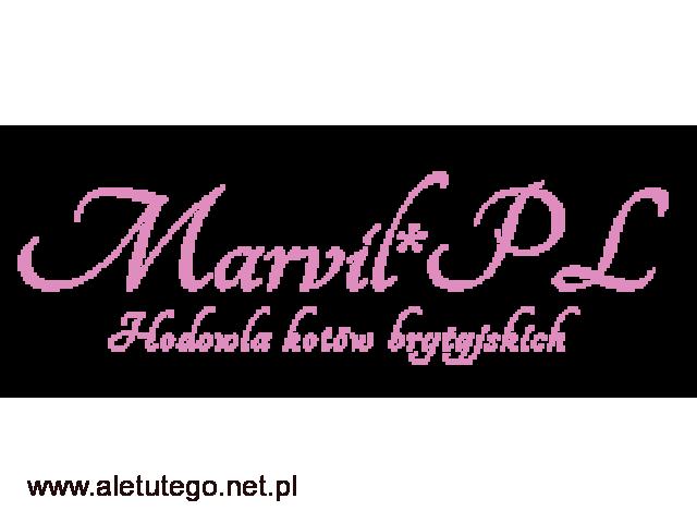 Marvil - sprzedaż kotów brytyjskich niebieskich - 1/1
